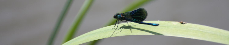 Libelle auf dem Blatt