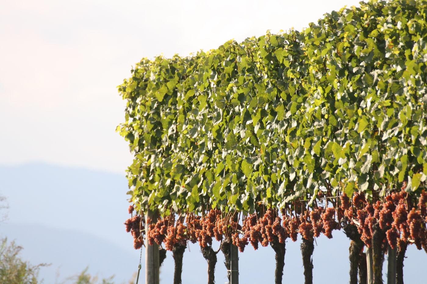 Wo der Kaiserstühler Wein wächst