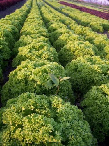 Salat in Eichstetten