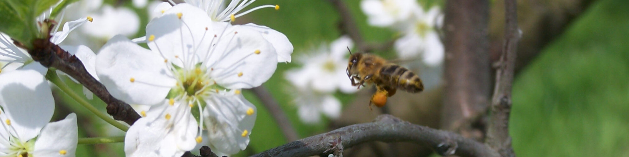 biene an einer Kirschbluete
