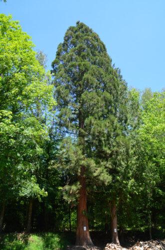 Ein Mammutbaum bei Ihringen